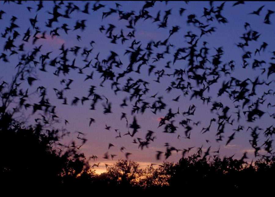 Bats on Campus are Vacationing Vampires
