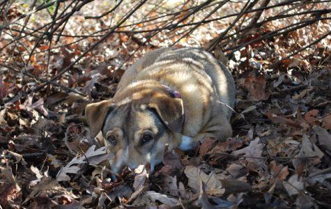 Dr. Rodekohr's 14-year-old dog Baylie.